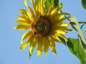 The honey bees are really drawn to the giant sunflowers blooming in the garden.