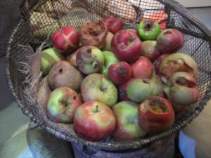 Even rotting apples