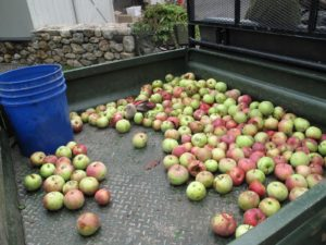 These are windfall apples, which will go to the donkeys, horses, and chickens.