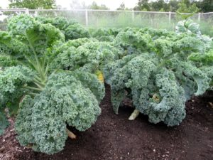 I've never seen more beautiful kale as this year's crop.