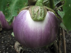 This eggplant is called Rosa Bianca, a delicious Italian heirloom.