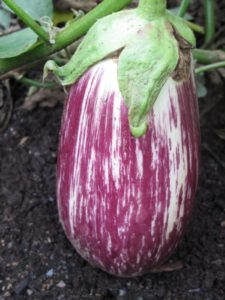 Eggplant - Listada de Gandia -  A unique eggplant pleasing to both the eye and the palate.