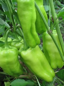 Pepper - Biscayne - A prolific sweet pepper