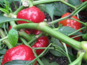 Pepper - Peppino - a hot cherry pepper