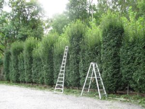 The hornbeam hedges needed a good pruning.  I suppose it's time for lunch.