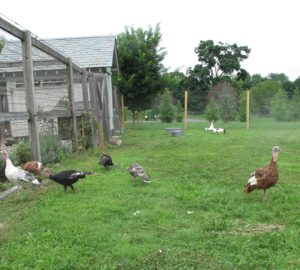 The six heritage breed turkeys are enjoying their grassy open pen now that their wings have been clipped.