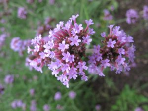And Verbena bonariensis