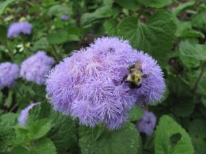 A bee enjoying fluffy ageratum