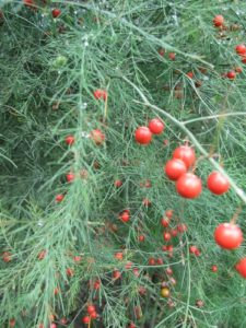 These are the bright red berries of the asparagus plant.