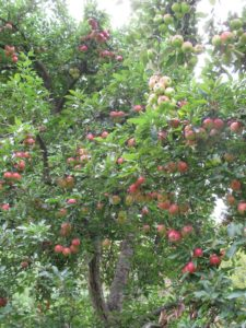 Can you believe how much fruit there is on this one tree?