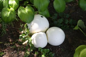 Giant puffballs grow in this shade garden every year.