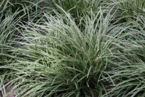 Carex is a good choice of plant for difficult areas.