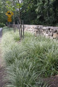 Outside my property, the carex planted along the road have filled in so nicely.