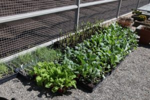 Cabbages, cauliflower, and broccoli plants are hardened off and ready to be planted in the garden.