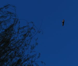 Perhaps a turkey vulture?