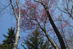 Looking up towards the impressive blue sky and the contrast of the red maple buds