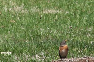 A female American robin is certainly a harbinger of spring.