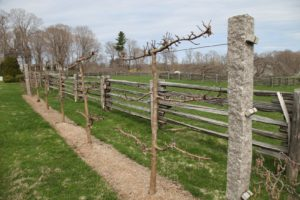 The Gravenstein apple espalier, which was planted a year ago, has adapted quite nicely.