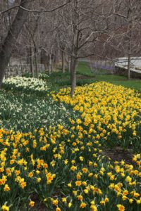 With warm and sunny days and one week later, the daffodil border is really beginning to pop.