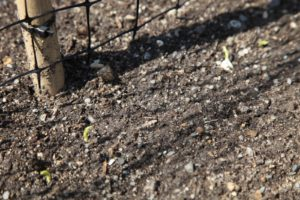 The Sutton's Harbinger peas planted last week are sprouting.