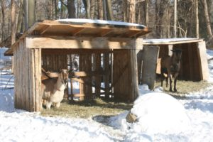 These are two of the older male goats on the farm.  The fellow on the left is resting on his front knees.