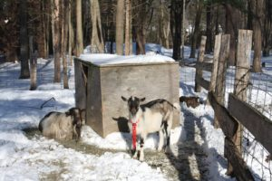 These are two new male goats called Starbucks and Beau Jangles.  In all, there are about 35 Alpine goats.
