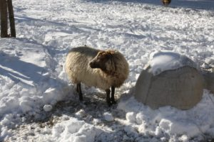Chloe is a Shetland sheep.  Shetland fleece has the widest ranges of color of any breed, including white, reddish brown, silvery gray, fawn, dark brown, and black.