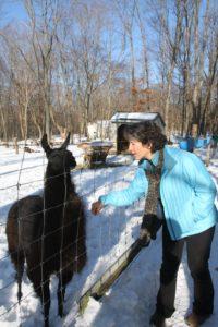 Lulu, the black llama is now a year old.