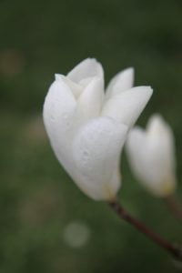 A dewy pure white magnolia flower