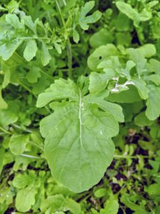 Here is a crop of arugula. Arugula is a cruciferous vegetable that provides many of the same benefits as broccoli, kale, and Brussels sprouts. Arugula leaves, also known as rocket or roquette, are tender and bite-sized with a tangy flavor.