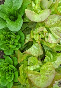 I always grow a variety of lettuce in succession, so there is always some to pick for healthy salads.