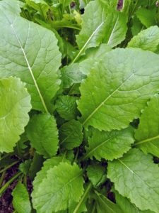 Both the root and the leaves of the turnip are edible. The leaves have a taste similar to mustard greens but with a less intense spicy flavor. Fresh leaves contain lots of vitamin-C.