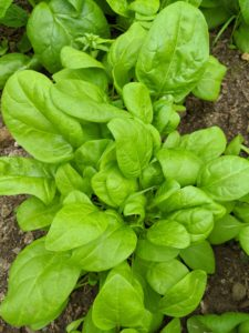 I also grow a lot of spinach. Spinach is an excellent source of vitamin K, vitamin A, vitamin C, folate, and a good source of manganese, magnesium, iron and vitamin B2.
