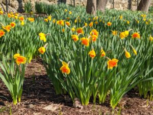 This cheerful daffodil, with its color contrast, makes a bold statement in the border. Cultivars with bold colored cups generally retain better color when planted in a little shade to protect them from the hot afternoon sun.