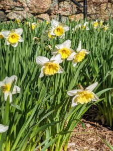 The classic yellow-and-white daffodil is a welcome sign of spring. With more than 25-thousand named varieties, daffodils are one of the most hybridized flowers in the world. The blossoms come in many combinations of yellow, orange, white, red, pink and even green.