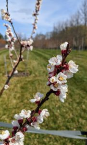 Blossoms are also emerging on the fruit trees in my orchard. My fruit trees have been doing so well – in part because of how nutrient-rich the soil is. When choosing to grow fruit stock, it is very important to select those that are best for your area's climate and soil.