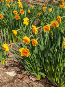 The daffodil border includes many varieties, showcasing different color patterns, shapes, and sizes of daffodils.