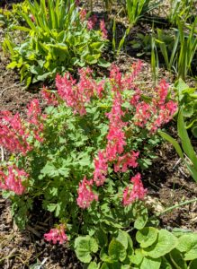 Bright colorful flowers rising above neat mounds of delicate foliage make corydalis perfect for shady borders. Of the 300 or so species of corydalis with differing colors, these are dark pink flowers growing near my blog studio.