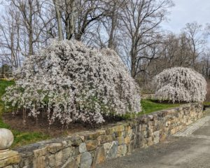 Here is a photo of the two. The various species and cultivars offer a wide range of sizes, from eight-foot dwarfs to 40-foot types. These trees are big eye-catchers when guests are lucky enough to see them in bloom. They only bloom for a couple days a year.