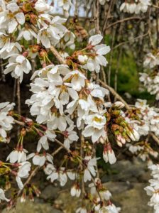 Here's a closer look at the flowers. When in bloom, weeping cherry flowers attract many butterflies and hummingbirds.