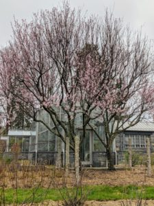 I have two almond trees at my farm – both on one side of my main greenhouse. They thrive in mild, wet winters, and hot, dry summers in full sun. These are deciduous trees with gorgeous spring flowers blooming pink with double petals.