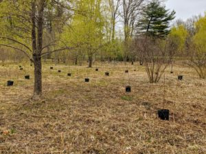 The trees are spaced about 15 to 20 feet apart to allow them room as they grow. Whenever planting trees, always consider the size and spread of the specimen when it is mature.