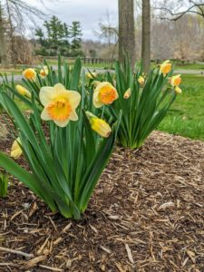 Narcissi are well suited for planting under small thickets of trees, where they can be planted in groups. They also grow very well in perennial borders and look beautiful randomly planted in wooded areas.
