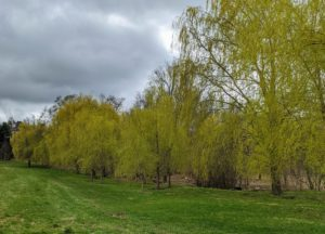 From the carriage road through the lower hayfield, one can see the gorgeous golden yellow of the weeping willows.