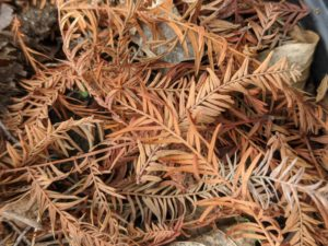 The leaves are compound and feathery, made up of many small leaflets that are thin and lance-shaped. Each leaflet is less than two inches long, alternating along either side of a central stem. They are brown in color now and then turn a medium green later in the season.