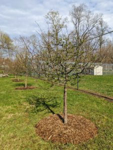 When planting Sargent crabapples, be sure to select an area that gets full sun or at least six hours of direct, unfiltered sunlight each day.