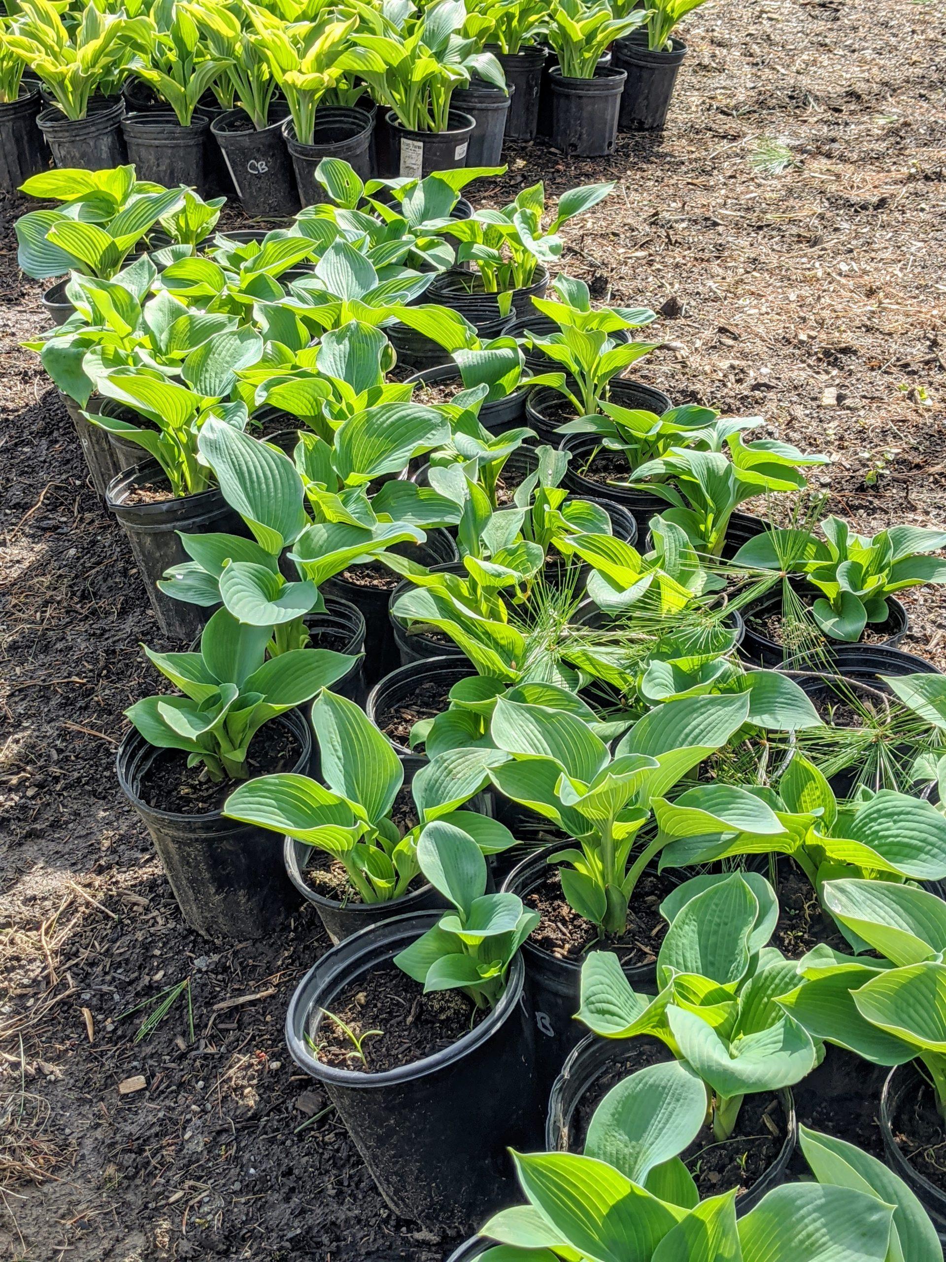 The Martha Stewart Blog Blog Archive Planting A Garden Of Hostas
