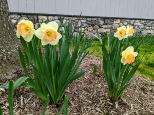 Daffodils are among the easiest flowers to grow and are ideal for novice gardeners in most regions of the United States. The flowers are generally white or yellow with either uniform or contrasting colored tepals and corona.