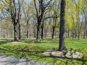 When I first received the 'Martha Stewart' daffodil bulbs, they were planted under six weeping willow trees at the end of the Pin Oak Allee behind my Equipment Barn.