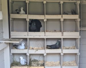 Inside is an entire wall of nesting spaces. Pigeons mate for life and both female and male pigeons share the responsibility of caring for and raising their young. They take turns incubating the eggs and both feed the chicks 'pigeon milk' – a special secretion from the lining of the crop which both sexes can produce.